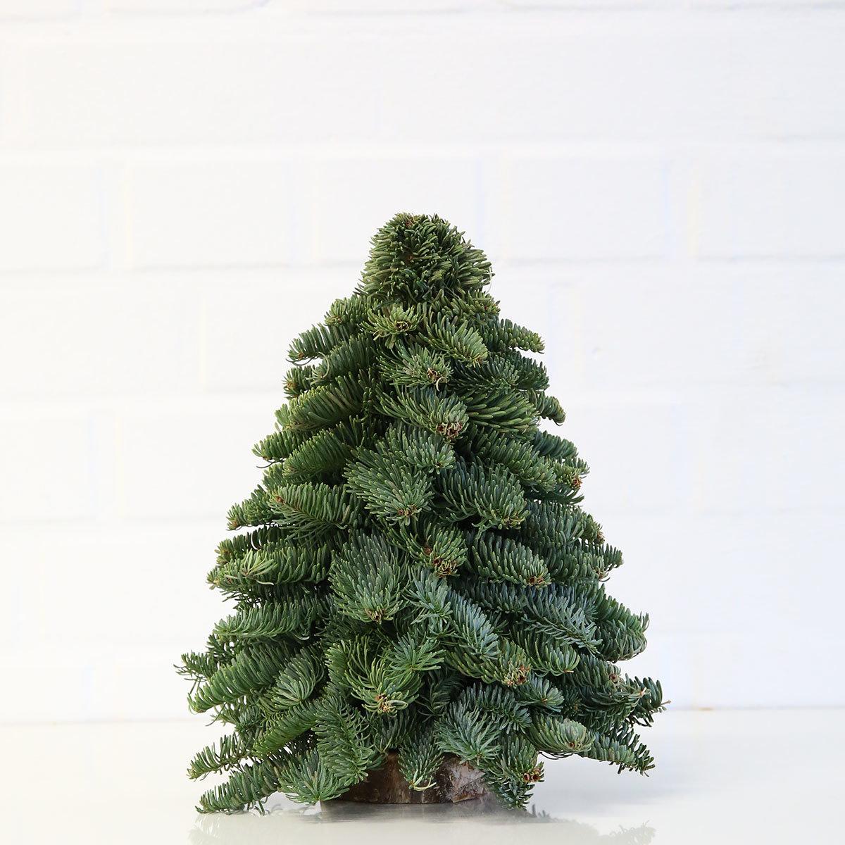 Nobilis-Weihnachtsbäumchen, klein | #2