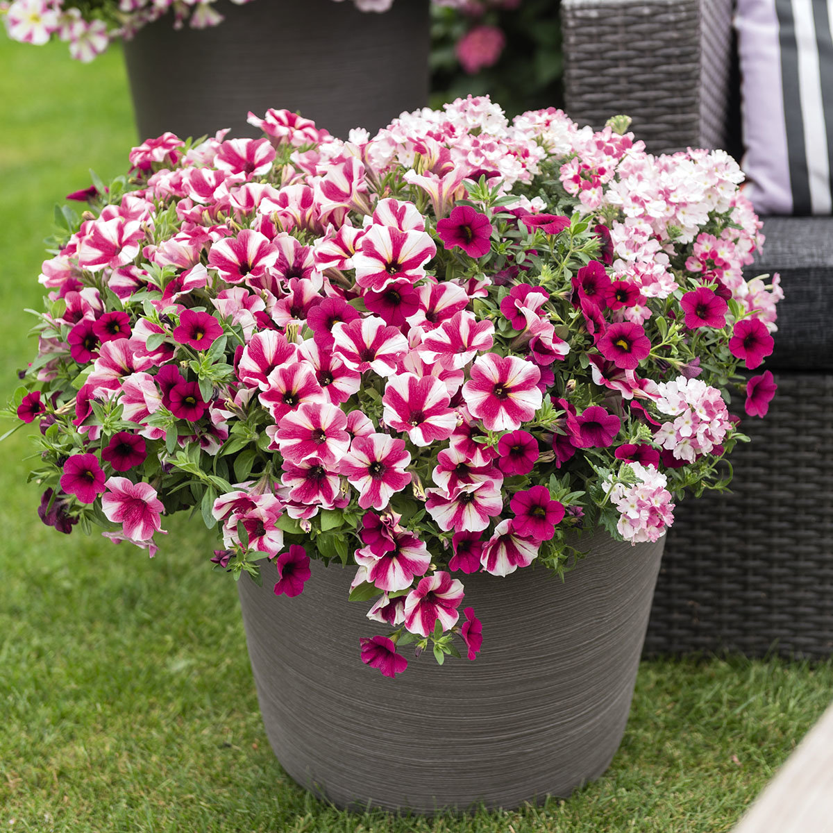 Confetti Garden™ Shocking Hot Pink, im ca. 12 cm-Topf   #2