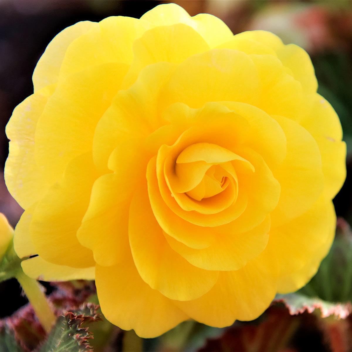 Begonie Yellow, im ca. 12 cm-Topf | #2