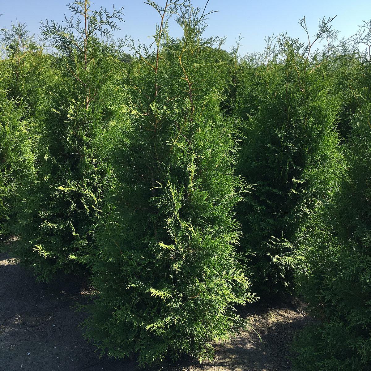 Premium Lebensbaum Brabant, Höhe ca. 180-200 cm | #2
