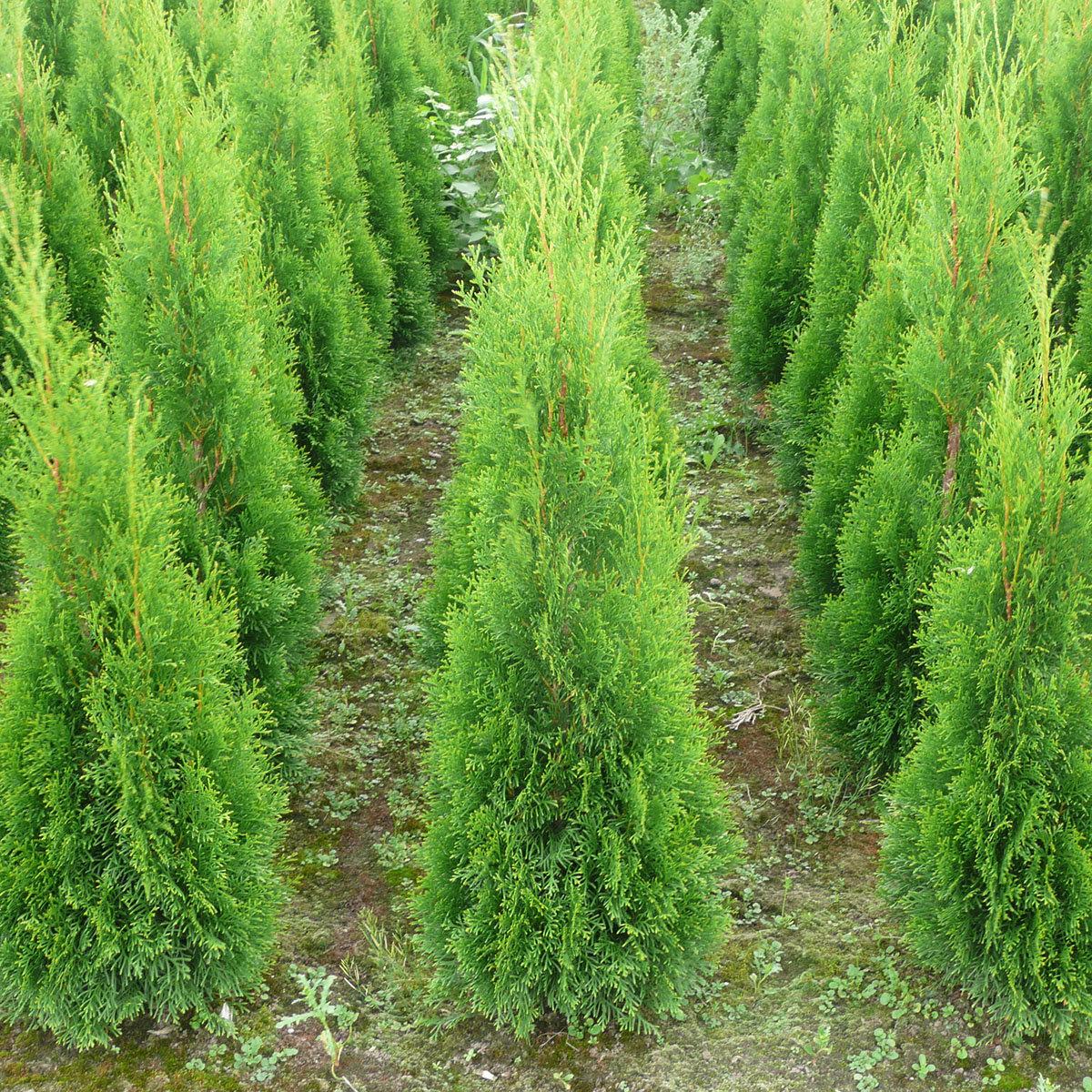Premium Lebensbaum Smaragd, Höhe ca. 100-120 cm | #2