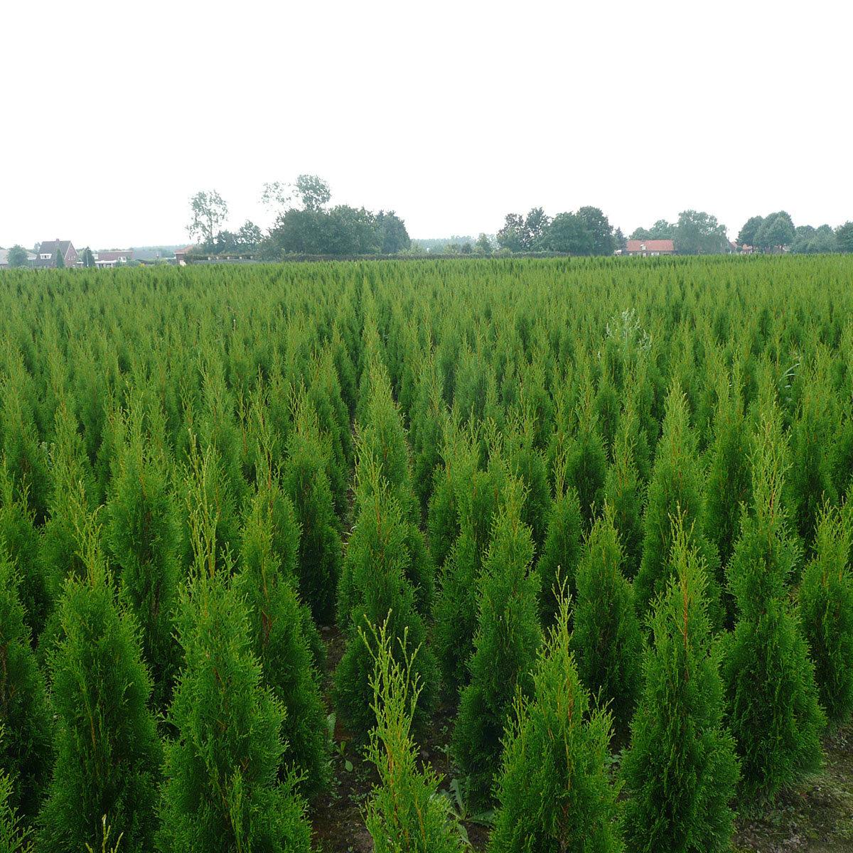 Premium Lebensbaum Smaragd, 120-140 cm   #2