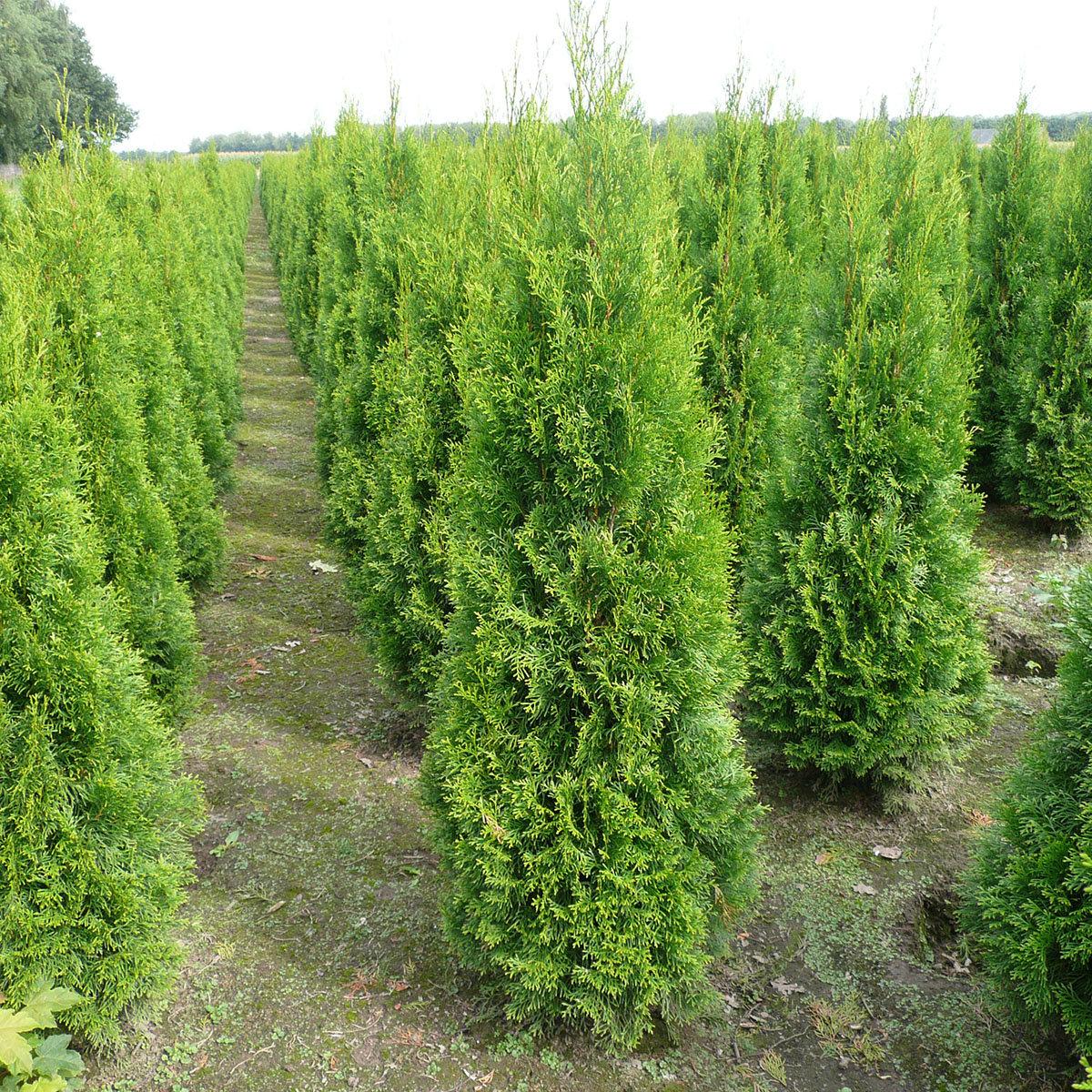 Premium Lebensbaum Smaragd, Höhe ca. 180-200 cm | #2
