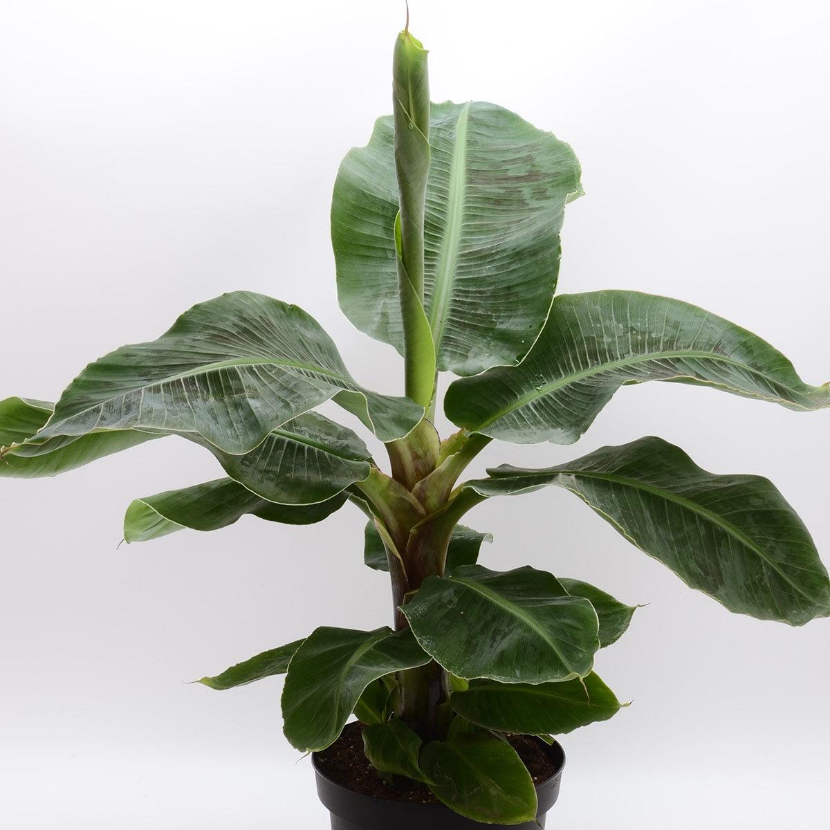 Banane Musa Tropicana, im ca. 12 cm-Topf | #2