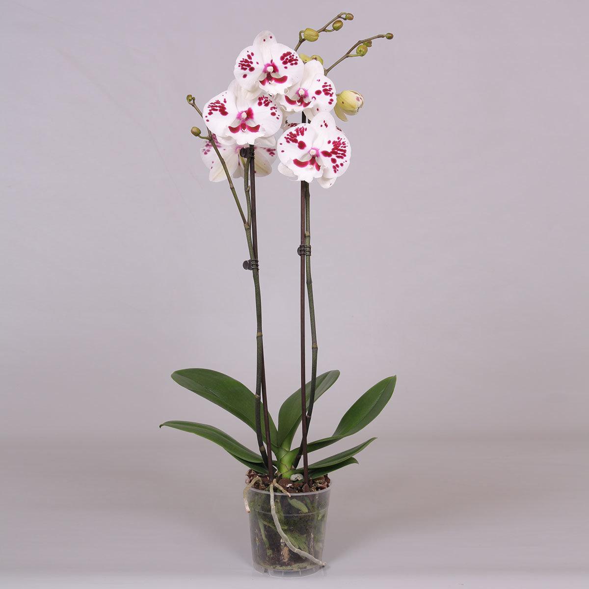 Schmetterlings-Orchidee Sparkling Big Lip   #2