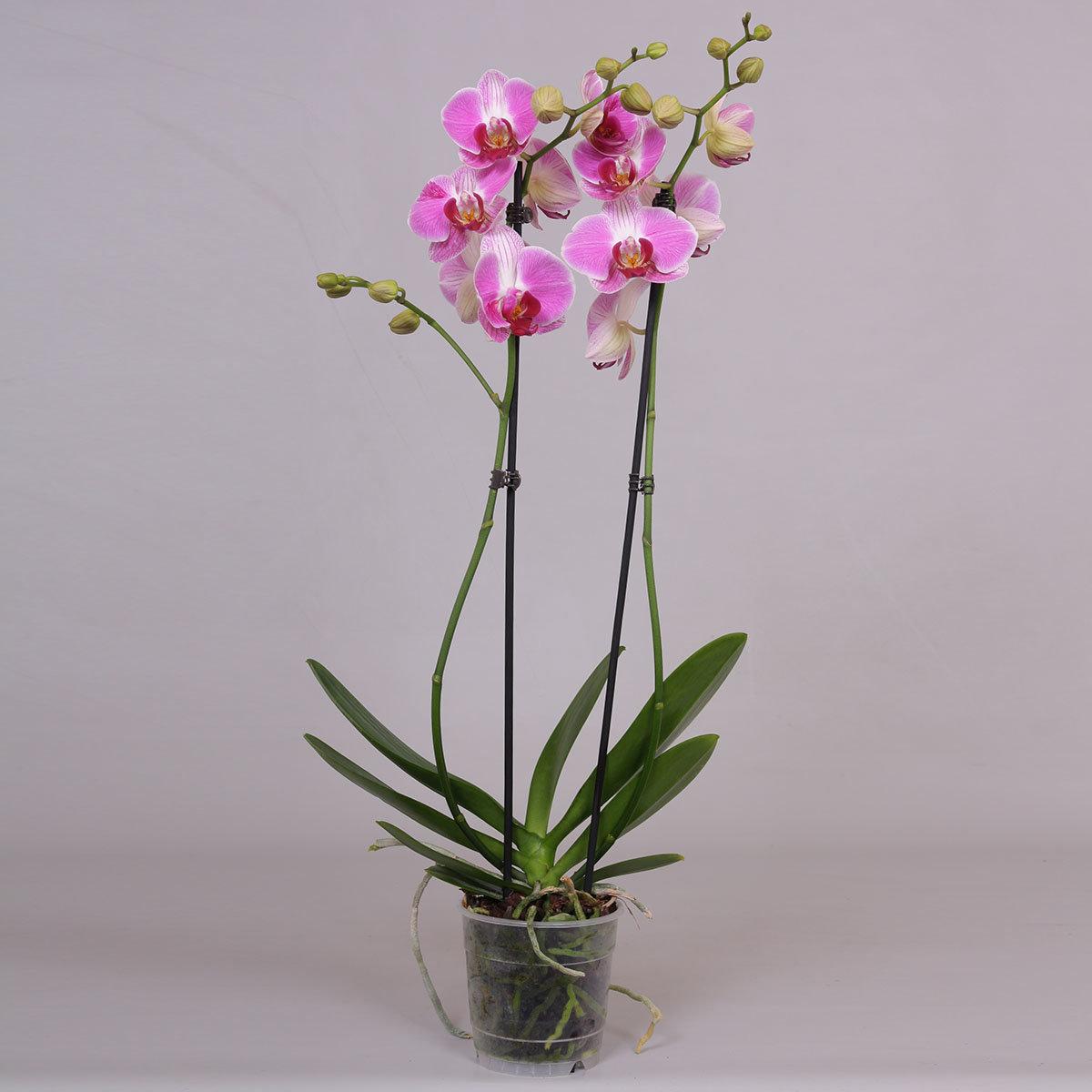 Schmetterlings-Orchidee Daytrip, im ca. 12 cm-Topf | #2