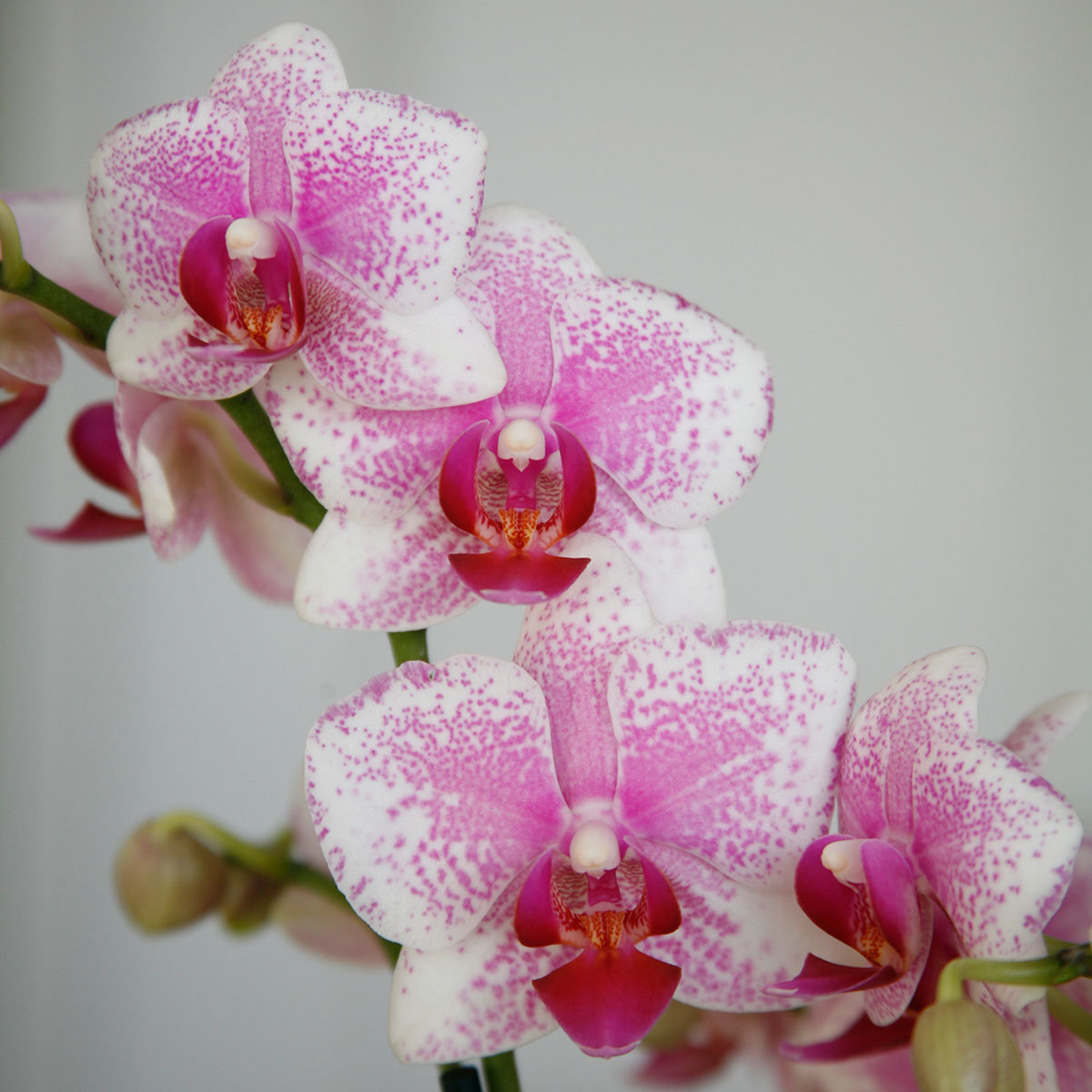 Schmetterlings-Orchidee Rotterdam, im ca. 12 cm-Topf   #2