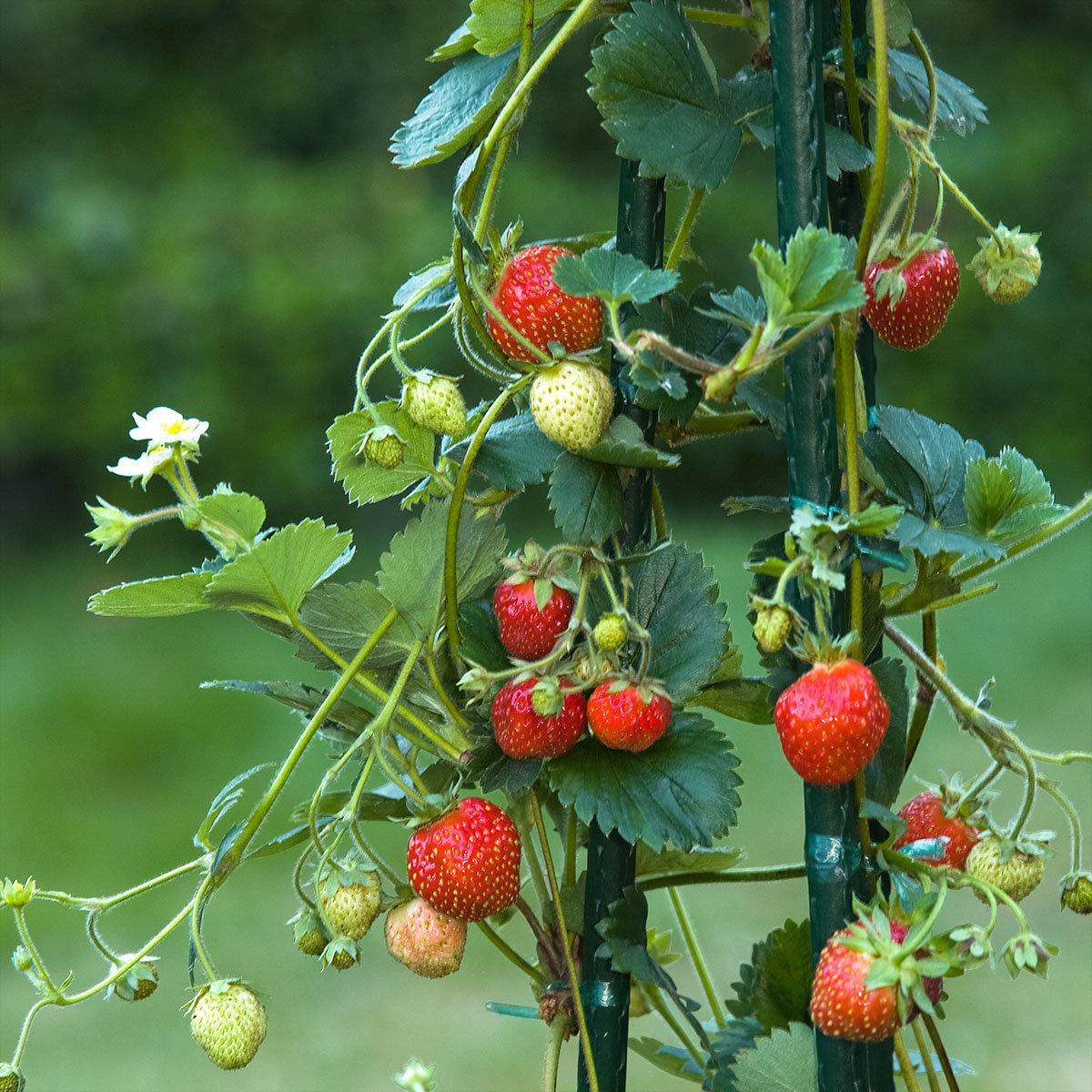 Lieblings Erdbeerpflanze Klettererdbeere Hummi® KletterToni online kaufen &VM_46