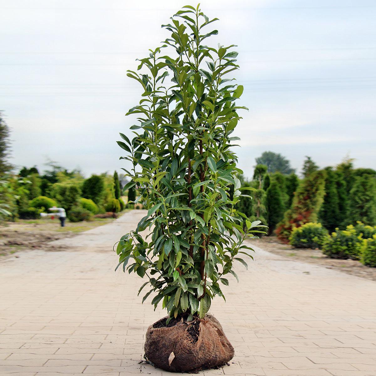 Premium Kirschlorbeer Genolia, Höhe ca. 120-140 cm | #2
