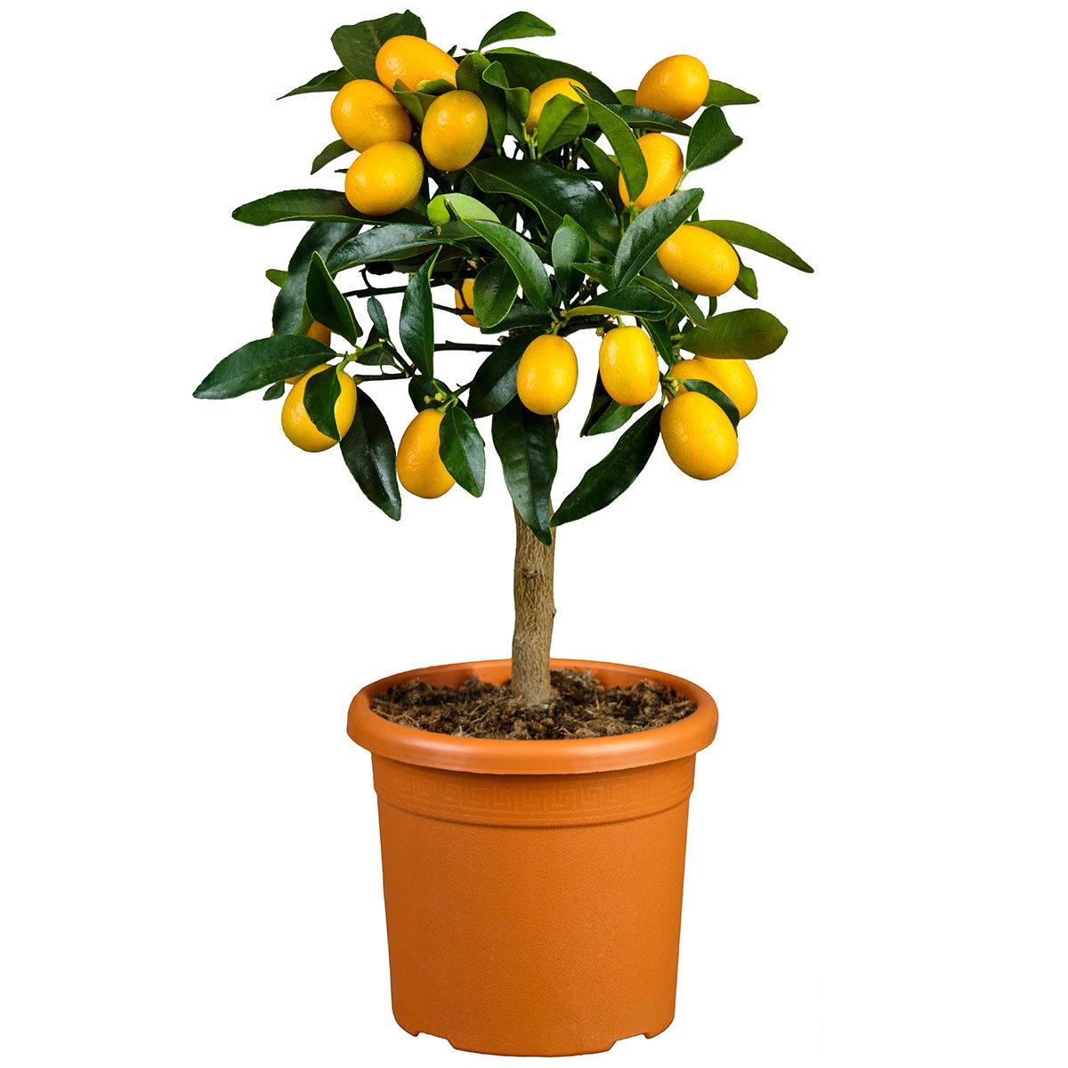 Zimmerpflanze Citrus Calamondin Stamm | #2