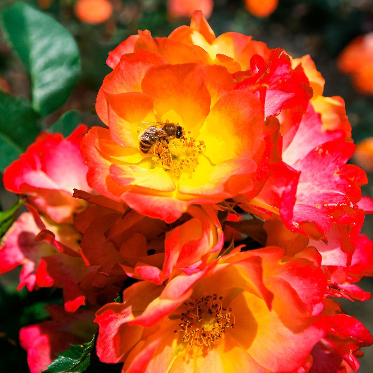 Bodendeckerrose Summer of Love®, im ca. 23 cm-Topf | #2