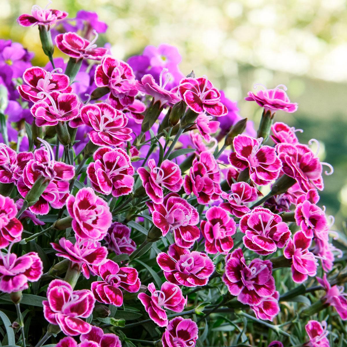 Garten-Nelke Purple Wedding, im ca. 9 cm-Topf | #2