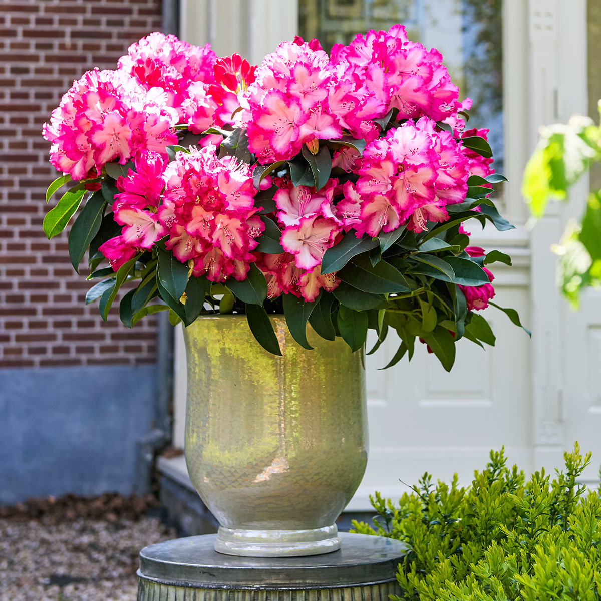 Rhododendron, rosa-weiß, im ca. 19 cm-Topf | #2