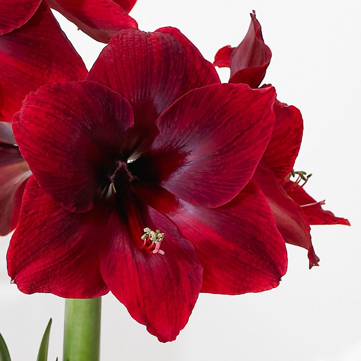 Amaryllis Red Pearl | #2