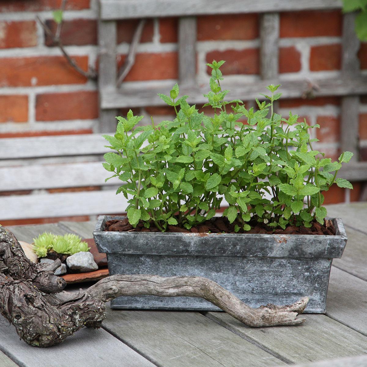 Kräuterpflanze Hugo-Cocktail-Minze, im ca. 12 cm-Topf | #2