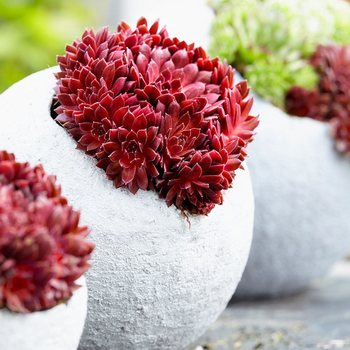 Korallenroter Hauswurz, im ca. 9 cm-Topf   #2