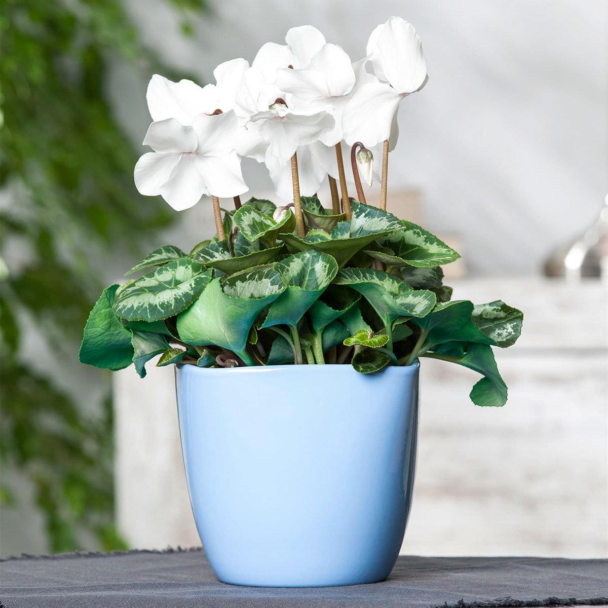 Weißes Alpenveilchen, im ca. 11 cm-Topf | #2