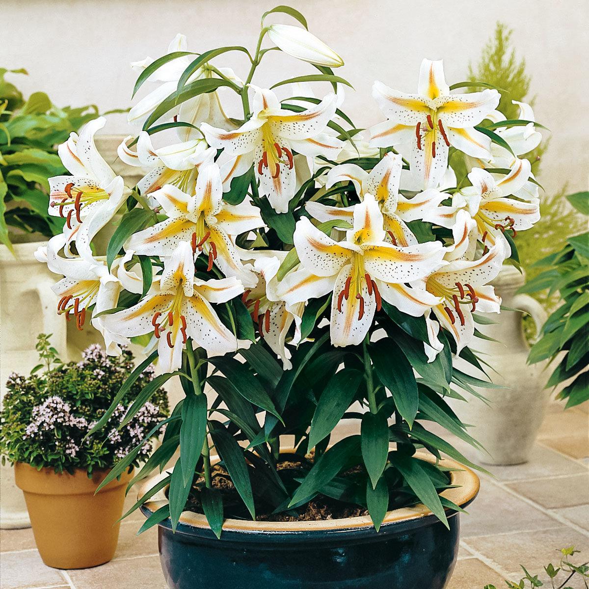 Orientalische Lilie Garden Party | #2