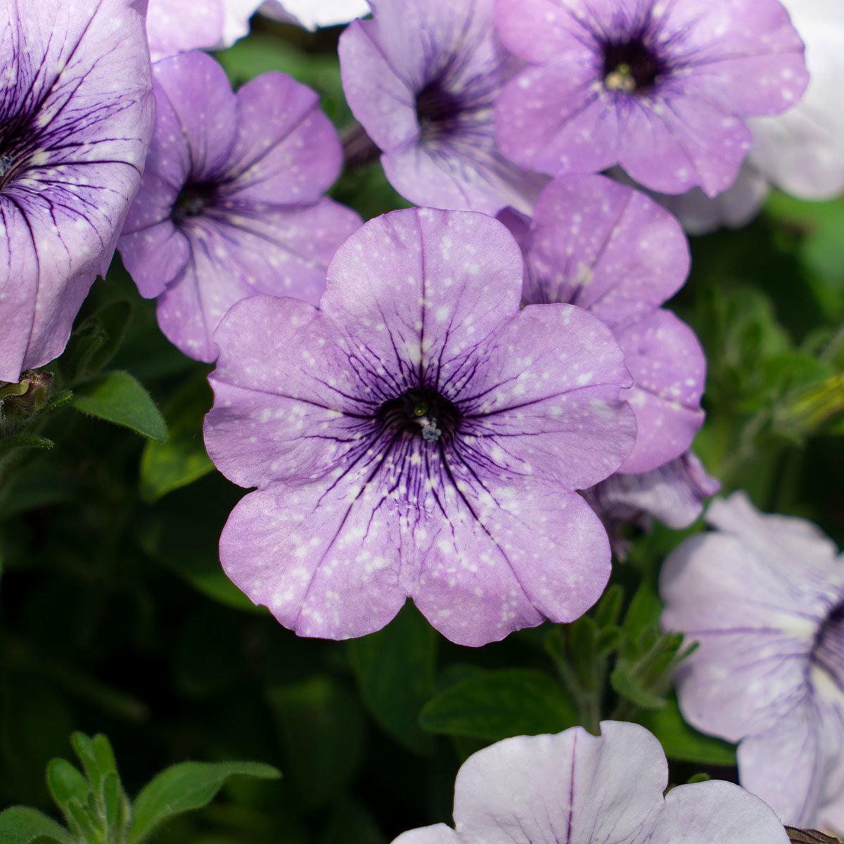 Petunie Lavender Sky®, im ca. 12 cm-Topf | #2