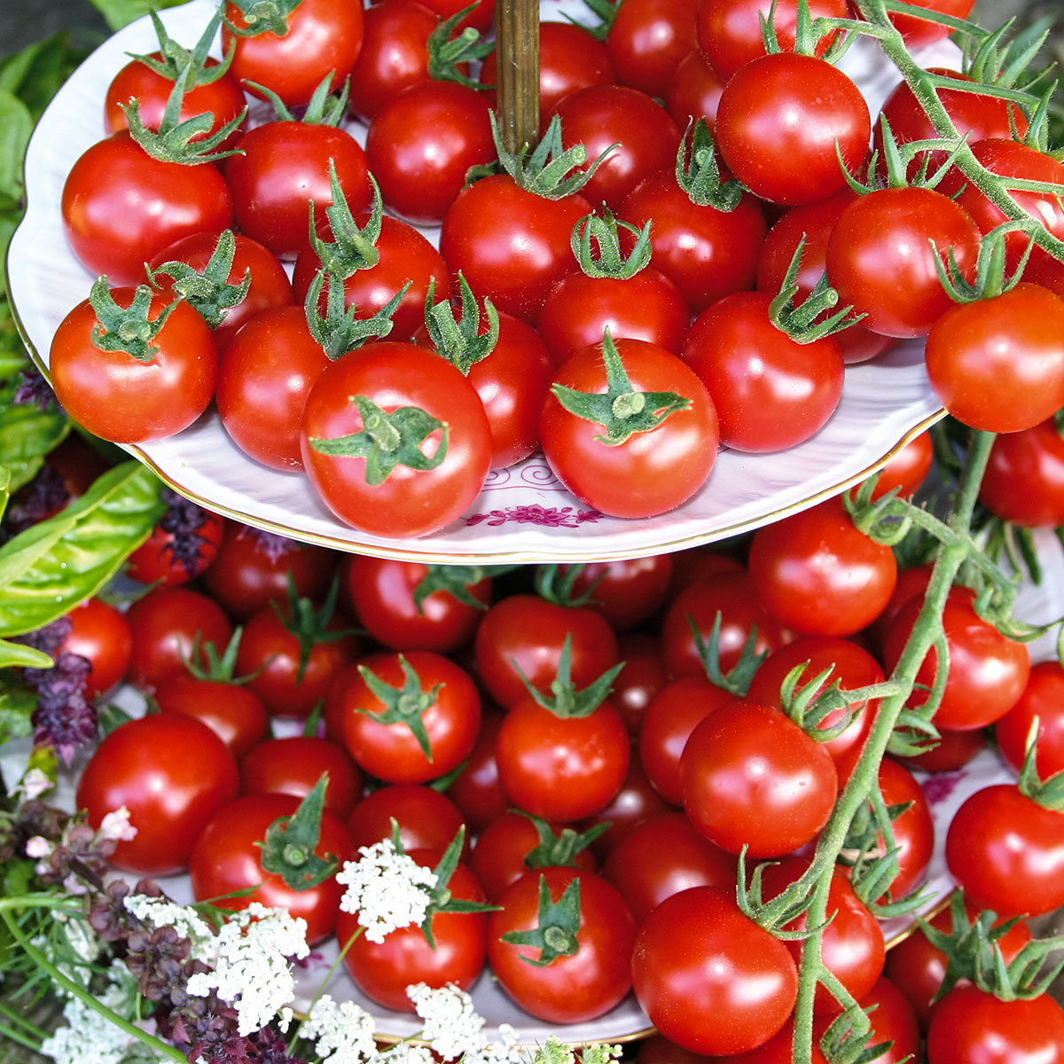 Tomatenpflanze Philovita, im ca. 11 cm-Topf | #2