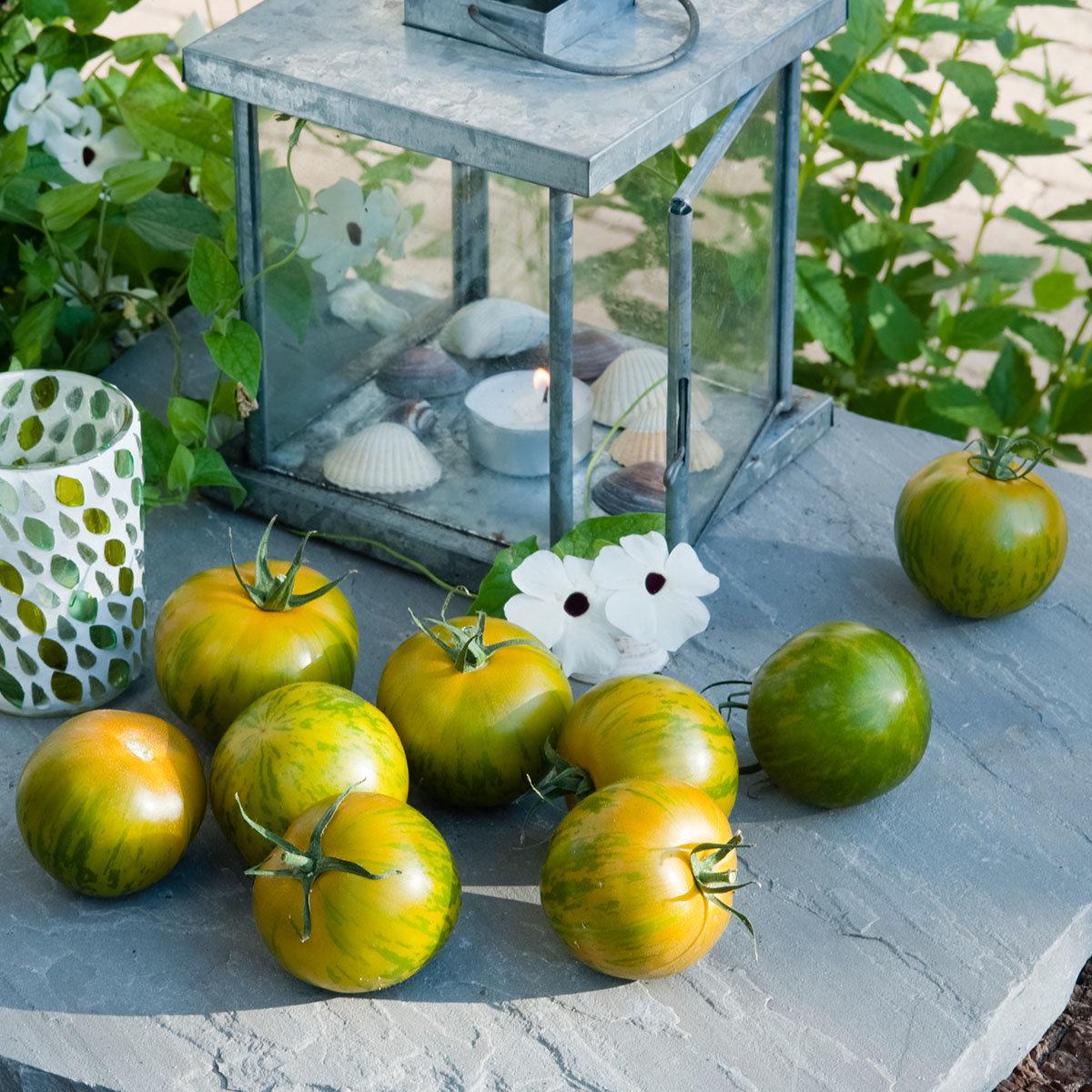 Tomatenpflanze Tiverta, veredelt, im ca. 12 cm-Topf | #2
