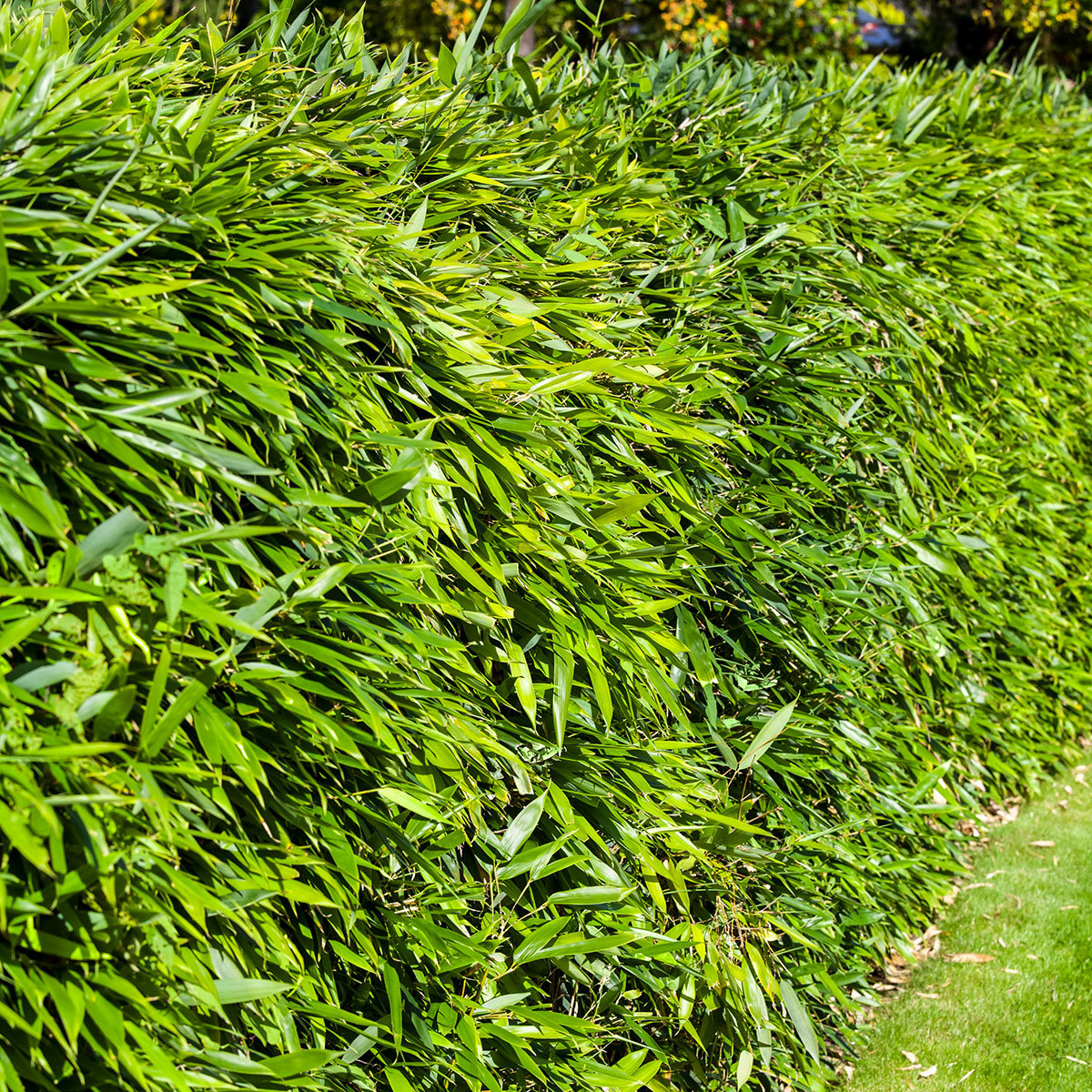 Bambus Asian Wonder, im ca. 23 cm-Topf   #2