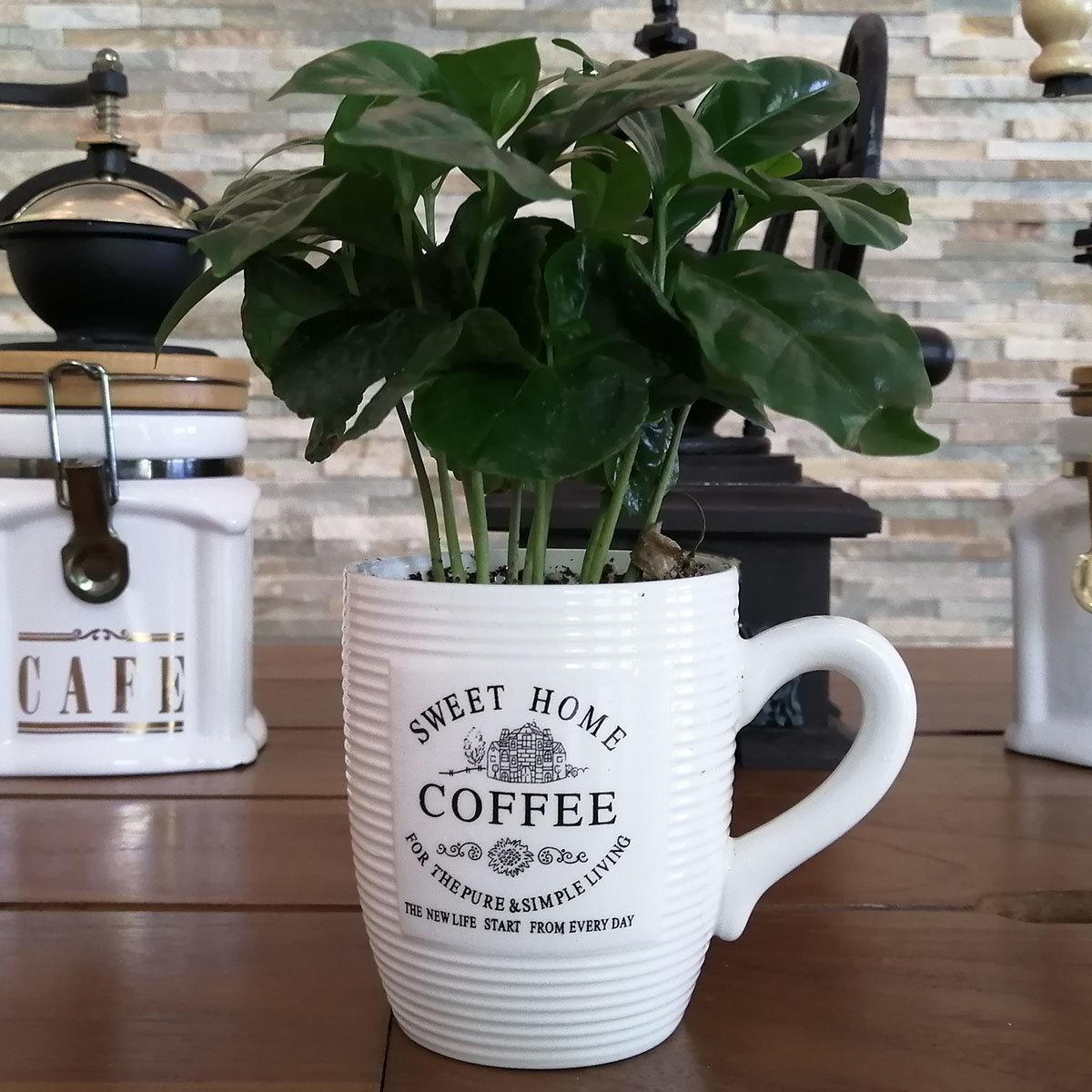 Coffea Arabica mit Kaffeetasse, im ca. 7 cm-Topf | #2