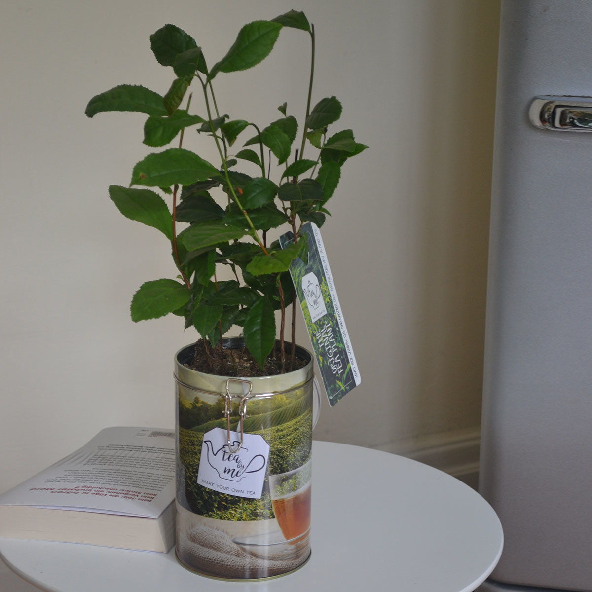 Teepflanze in Blechdose   #2