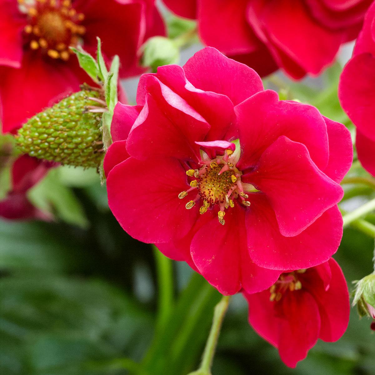 Rotblütige Balkon-Erdbeere, im ca. 11 cm-Topf | #2
