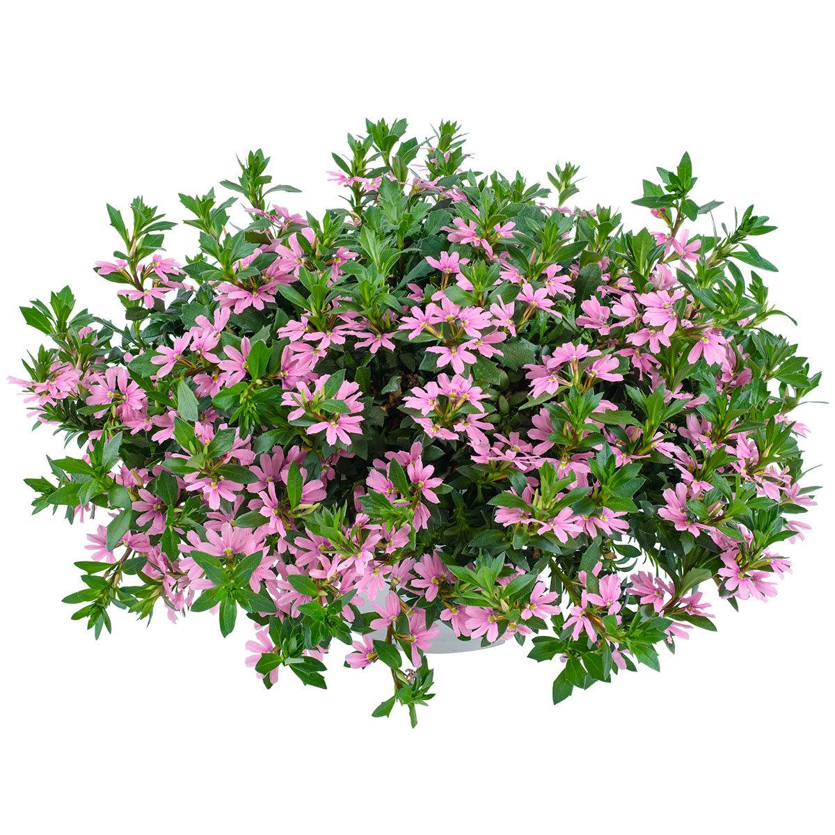 Rosa Fächerblume, im ca. 11 cm-Topf   #2
