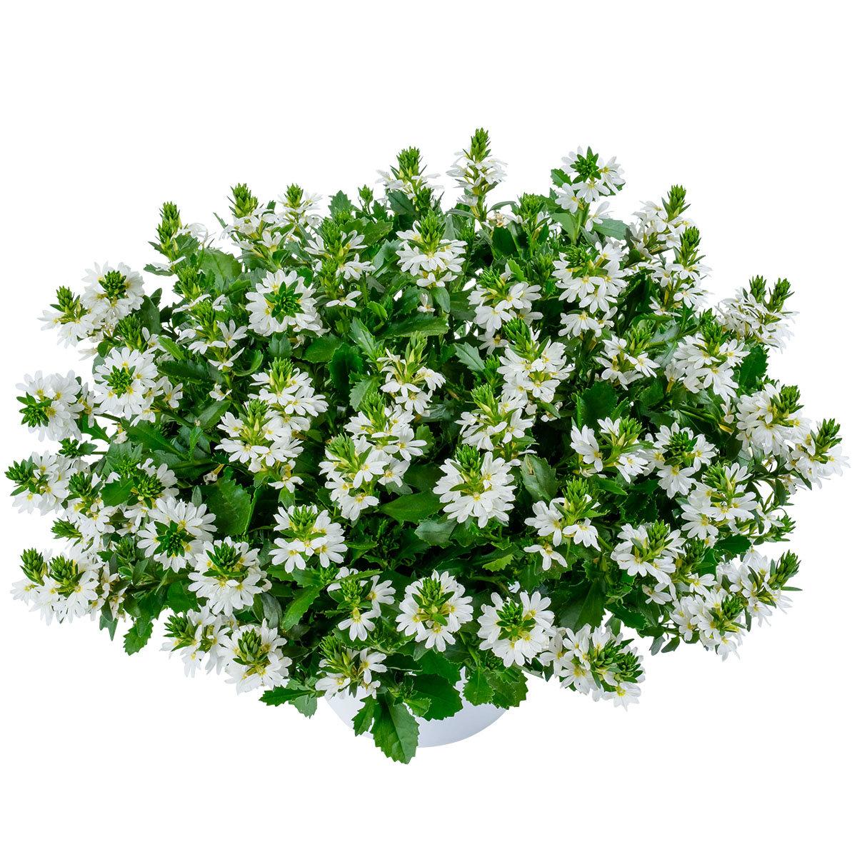 Weiße Fächerblume, im ca. 11 cm-Topf | #2