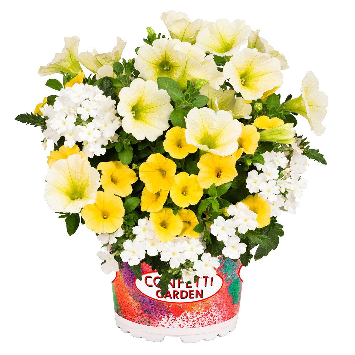 Trio Confetti™ Garden Sunshine, im ca. 12 cm-Topf | #2