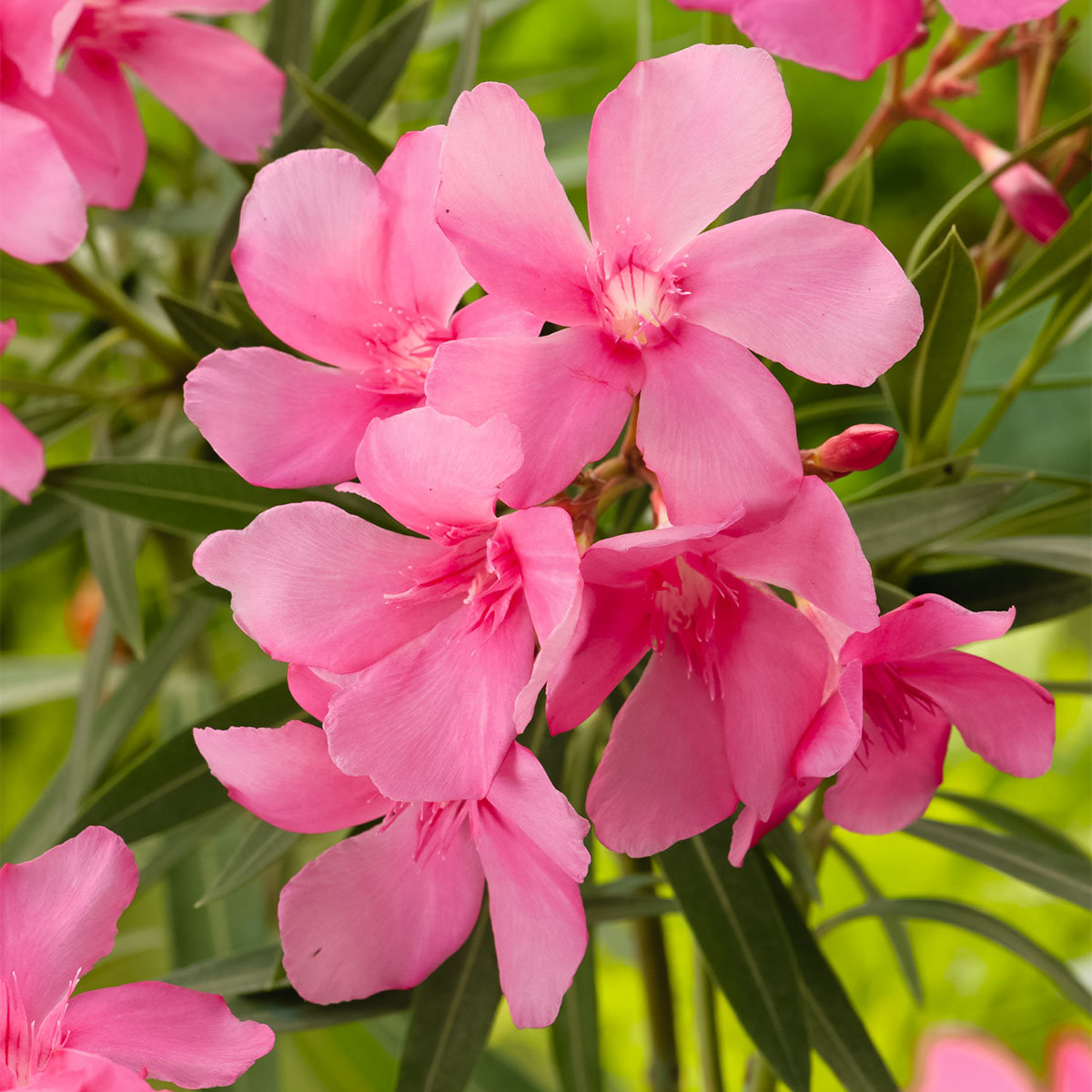 Oleander Busch, rosa, im ca. 20 cm-Topf | #2