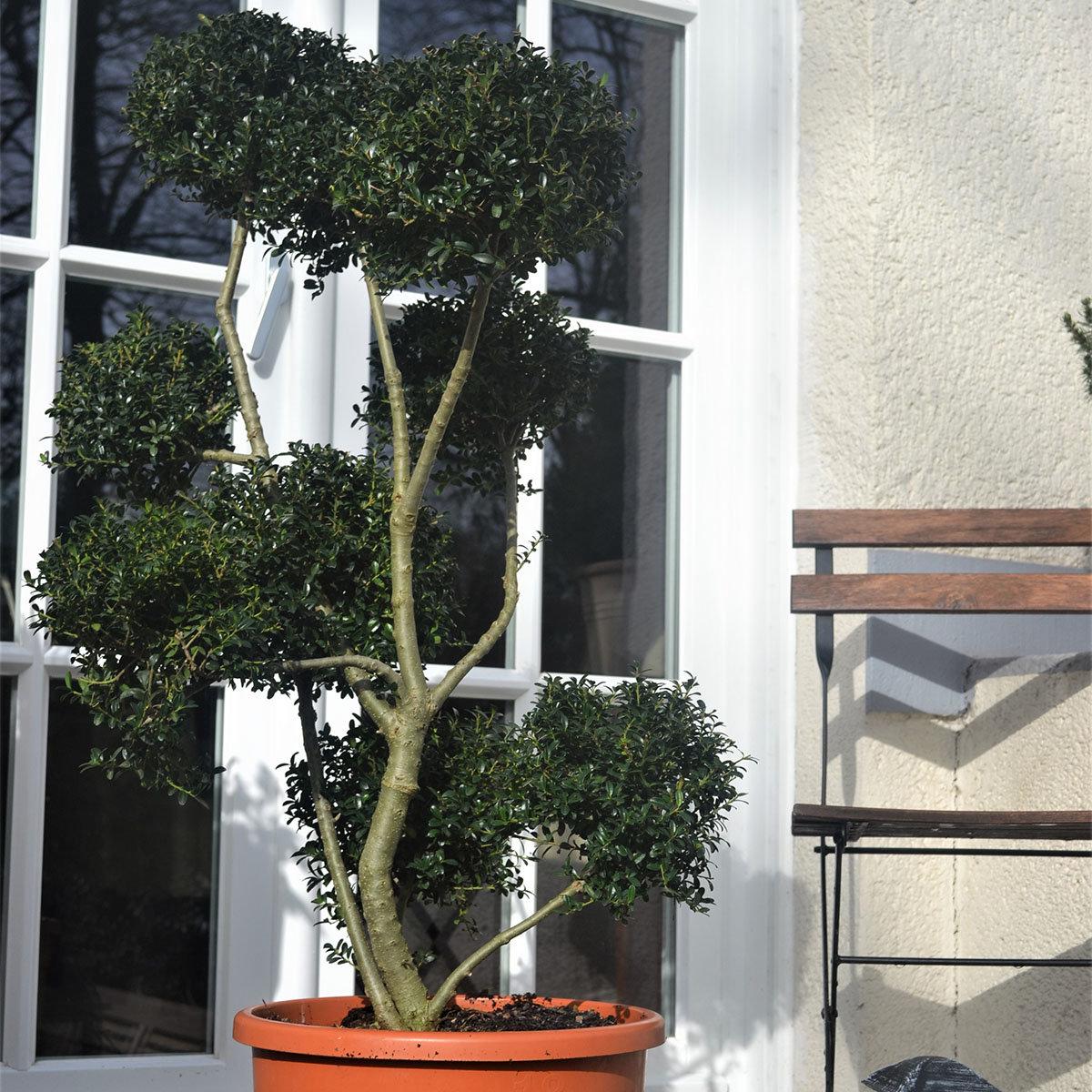 Japanische Stechpalme Kin Me Ponpon, im ca. 32 cm-Topf | #2