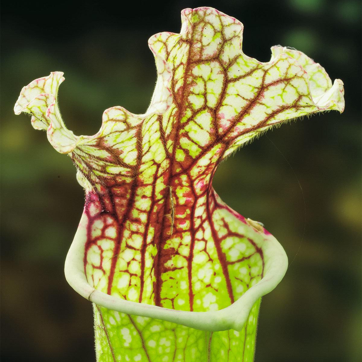 Schlauchpflanze, im ca. 9 cm-Topf | #2