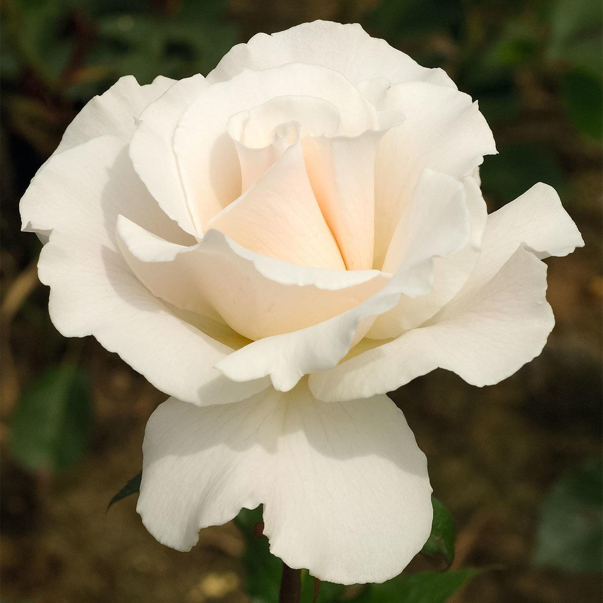 Weißer Rosen-Stamm, im ca. 26 cm-Topf | #2