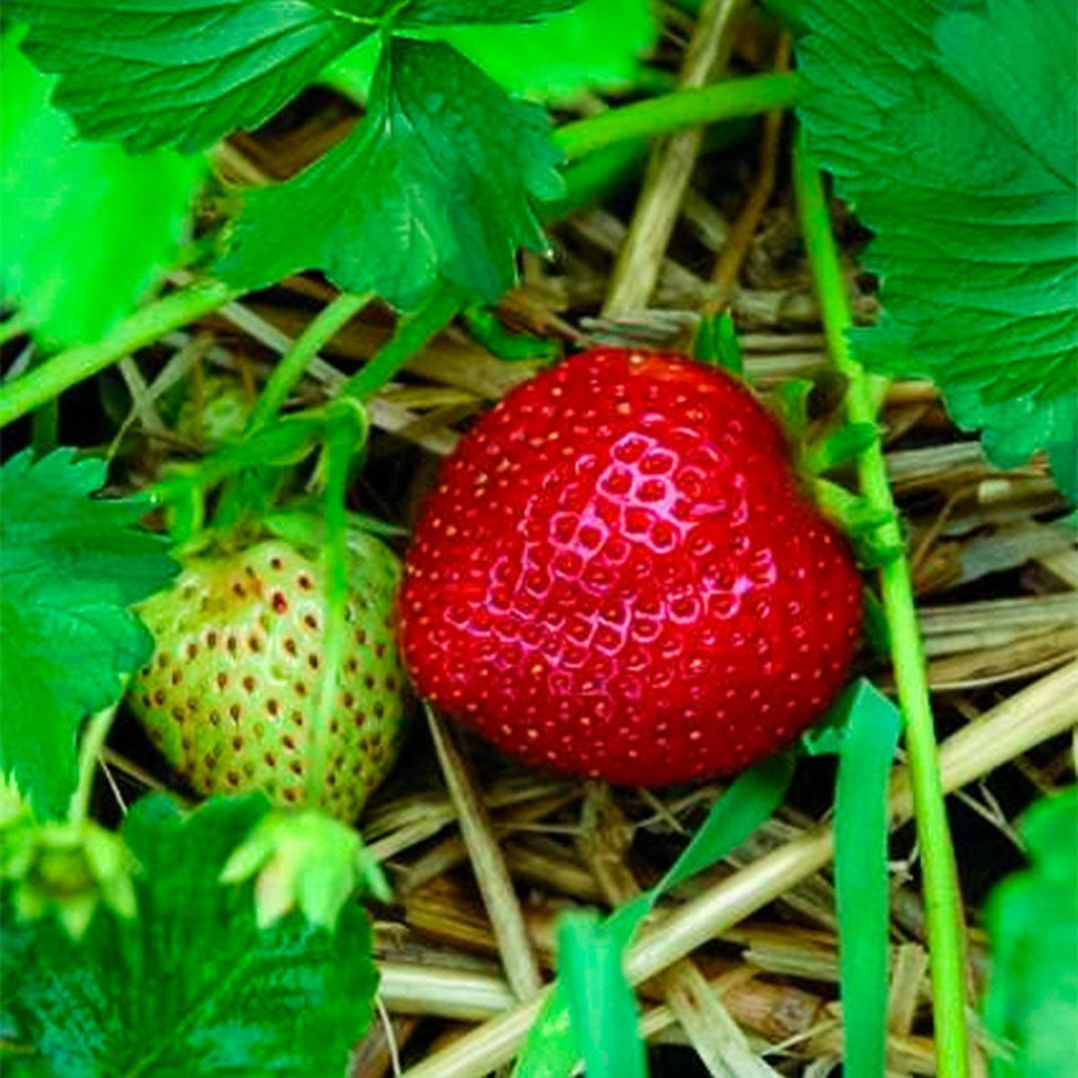 Erdbeere Herzle 12er-Set, im ca. 7 cm-Topf | #2