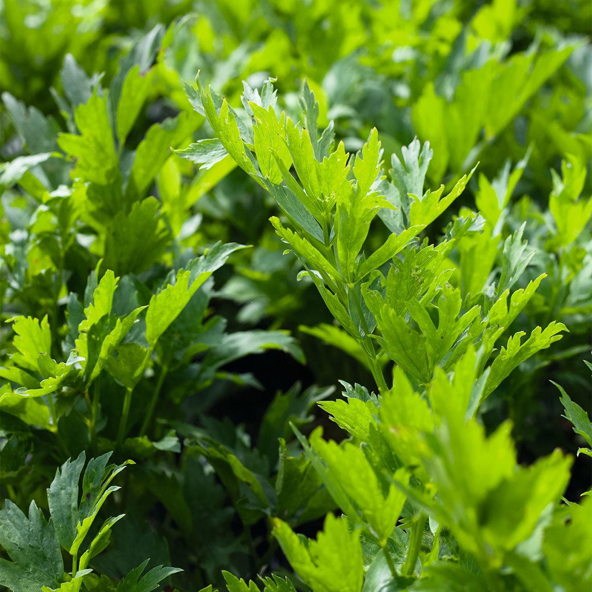 Kräuterpflanze Liebstöckel Maggikraut Verino, im ca. 12 cm-Topf | #2