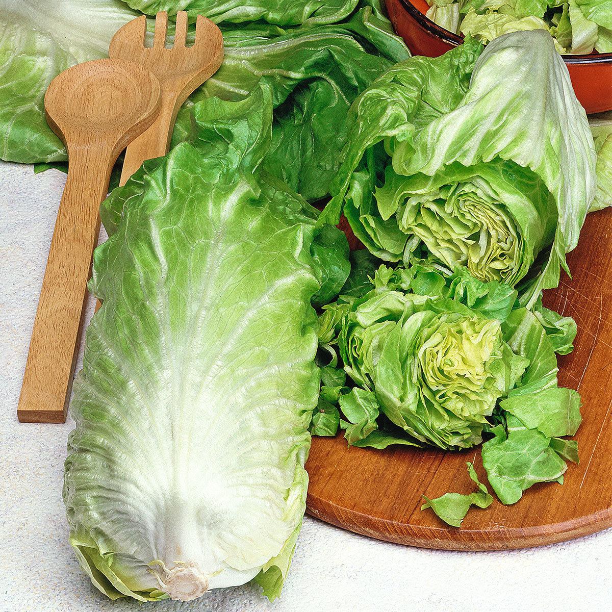 Salatsamen Zichorie Zuckerhut | #2