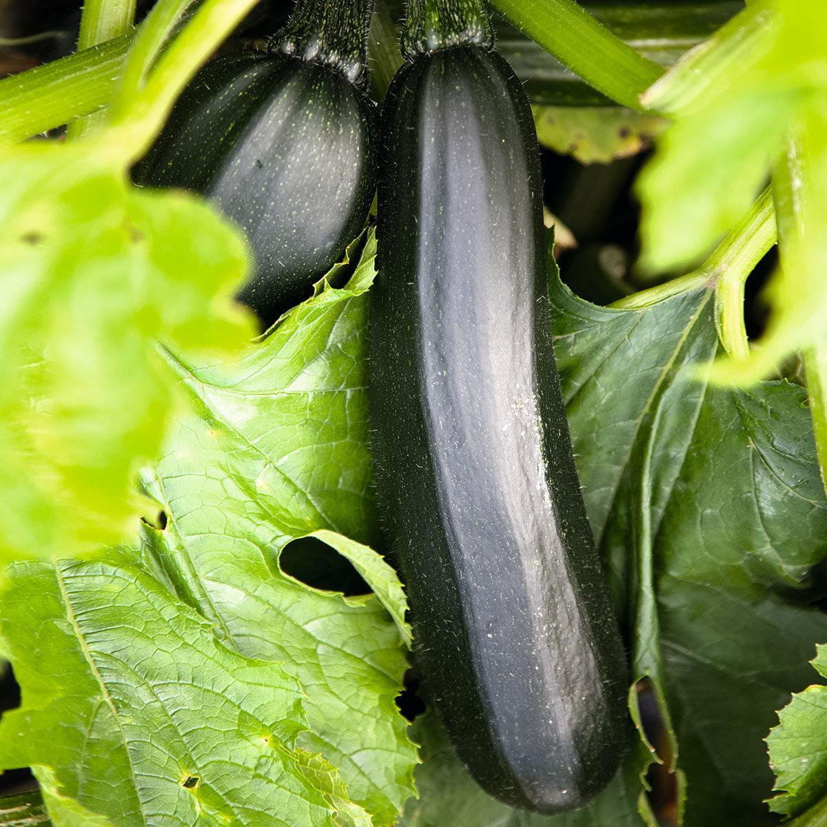 Zucchinisamen Black Beauty | #2