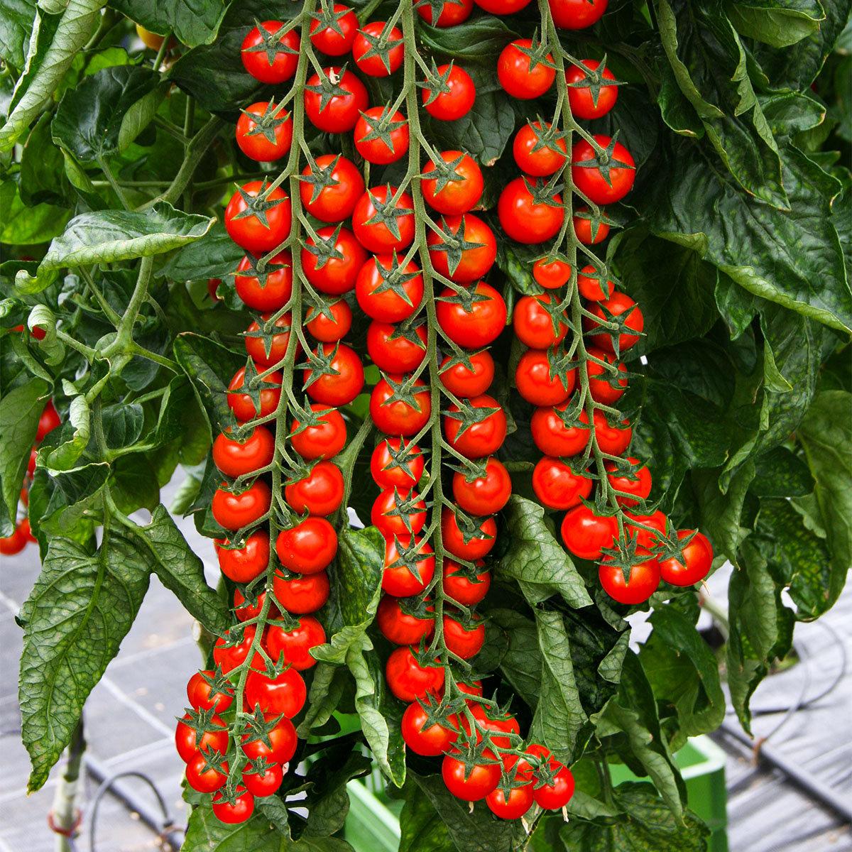 Tomatensamen Gardeners Delight | #2
