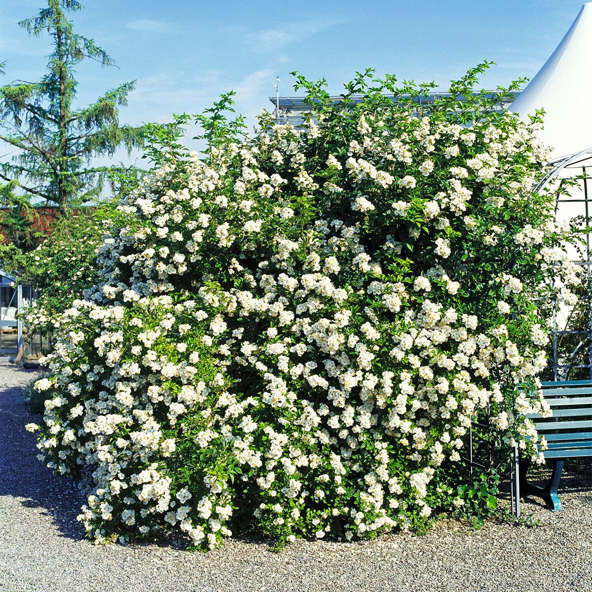 Büschelrose, weißblühend, im ca. 19 cm-Topf   #2