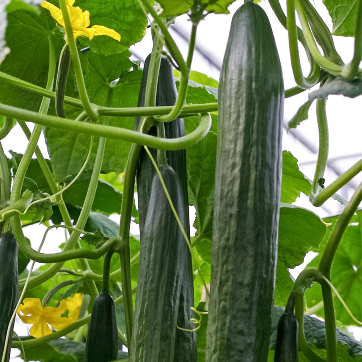 Gurkenpflanze Cyrano, veredelt, im ca. 12 cm-Topf   #2