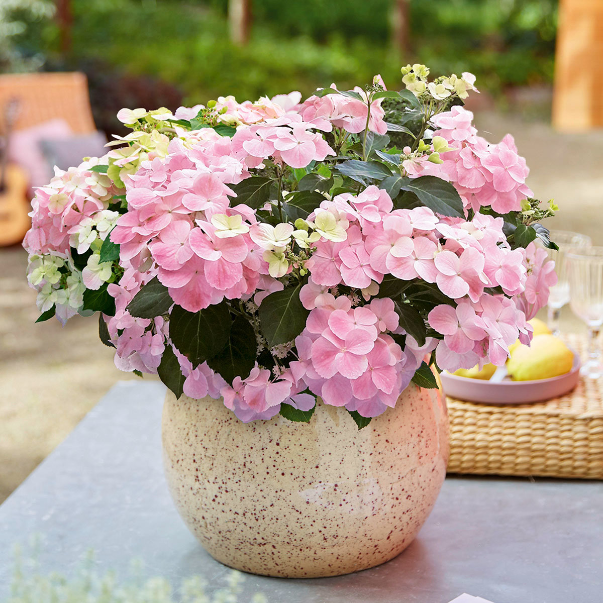 Gartenhortensie French Bolero, rosa, im ca. 13 cm-Topf | #2
