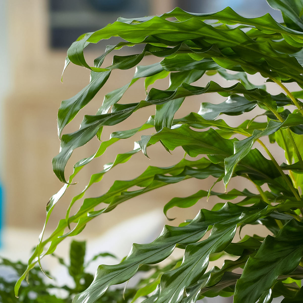 Korbmarante Elger Grass, im ca. 19 cm-Topf   #2