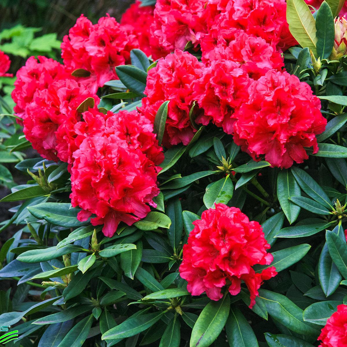 Historischer Rhododendron Marie L., im ca. 23 cm-Topf | #2