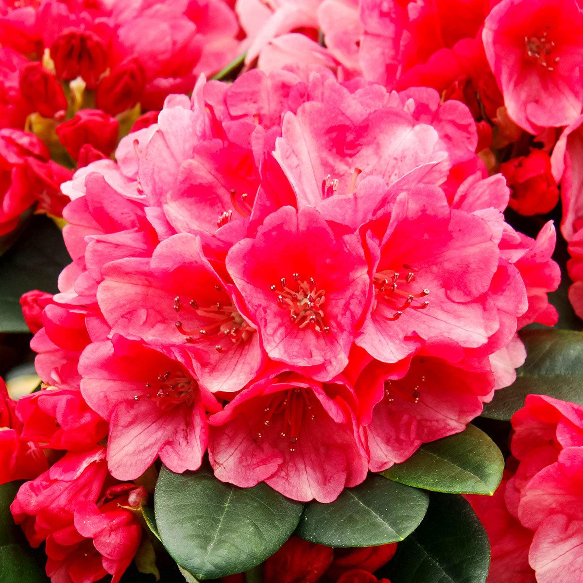 Historischer Rhododendron Anna K., im ca. 23 cm-Topf | #2