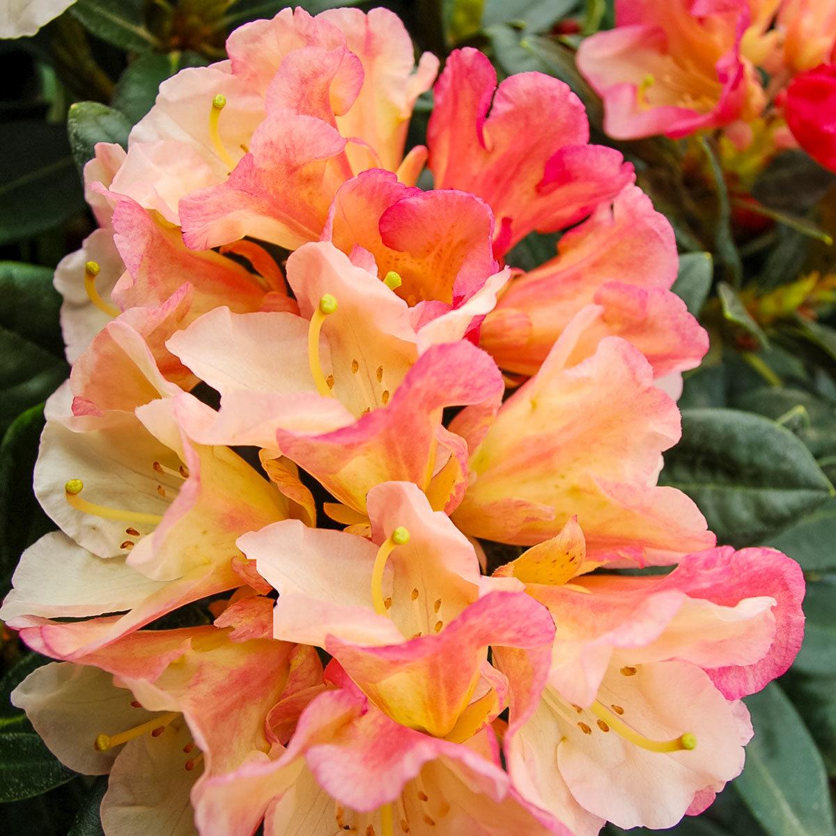 Historischer Rhododendron Elfriede D., im ca. 23 cm-Topf | #2
