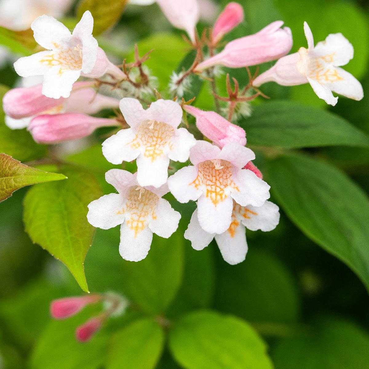 Perlmuttstrauch Kolkwitzie, rosa-weiß, im ca. 23 cm-Topf | #2