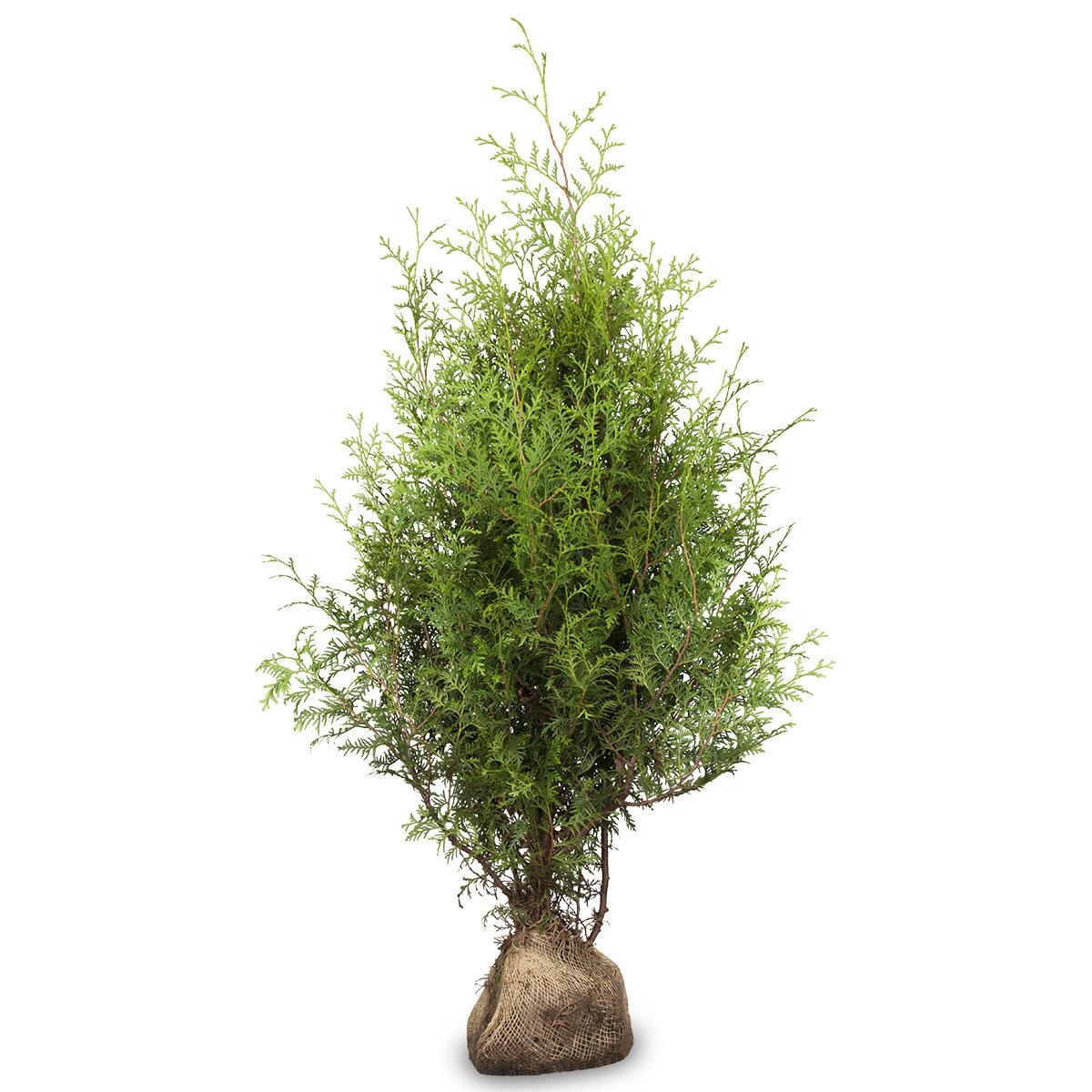Großgebinde Lebensbaum Brabant 80 - 100, 100 Pflanzen | #2
